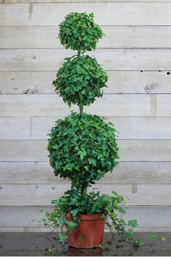 - Schubert Nursery Ivy Triple Ball Topiary on Stem 10-inch
