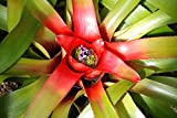Home Comforts Peel-n-Stick Poster of Flowers Blue Neoregelia Bromeliad Flower Poster 24x16 Adhesive Sticker Poster Print