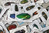 Pack of 50+ Real Dried Beetles, Unmounted Insects for Study from Thailand - Entomology, Biology, Scientific, Arts & Crafts, Pack of 50+ Assorted Exotic Insects/Beetles