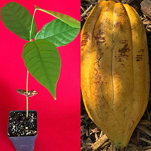 US Warehouse, Live Plant (Not Seed or Bulb), TRINITARIO Theobroma Cacao Cocoa Chocolate Fruit Tree Potted Plant Yellow Large