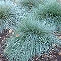 Outsidepride Blue Fescue Ornamental Grass Seed 5000 Seeds
