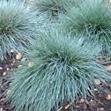 Outsidepride Blue Fescue - 5000 Seeds