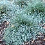 Outsidepride Blue Fescue Ornamental Grass Seed - 5000 Seeds