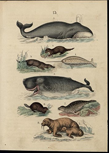 Whale Seal (Whales Seal Platypus Walrus Otter scarce 1861 antique hand color nature print)