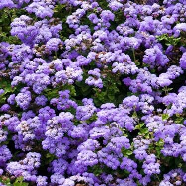 5000 Seeds Outsidepride Ageratum Mexicanum White