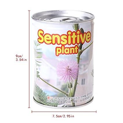 Kofun Sensitive Plant Seeds Mimosa Pudica Home Garden Potted Natural Decor
