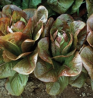 David's Garden Seeds Lettuce Rouge d'Hiver Romaine G2236CX (Red) 1000 Organic Heirloom Seeds