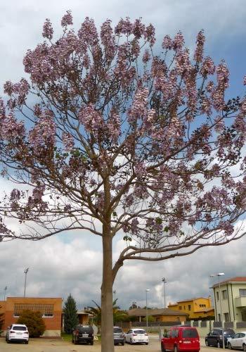 Gro/ßbl/ütiger Blauglockenbaum TROPICA Paulownia catalpifolia - 200 Samen