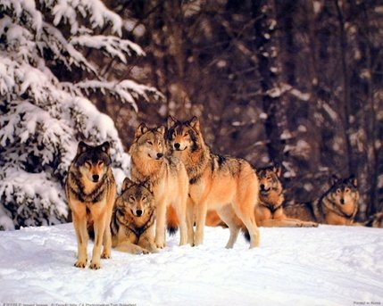 Timber Wolves in Snow Tom Brakefield Wildlife Animal Nature Art Print Poster (16x20)