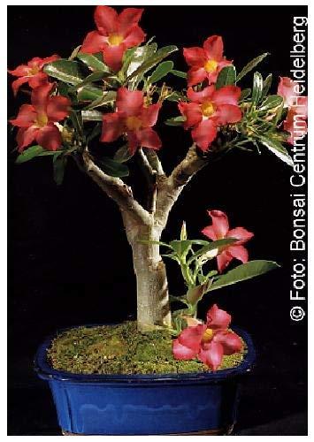 Tropica - Bonsai - Rosa del deserto (Adenium obesum) - 8 Seme ...