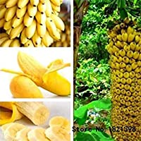 VISTARIC 3: 30 Pcs Dwarf Banana Seeds Bonsai Tree, Tropical Fruit Seeds, Bonsai Balcony Flower for Home Planting, Germination Rate of 95% 3
