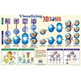 """Neo Sci Visualizing Meiosis Laminated Poster, 35"""" Width x 23"""" Height"""
