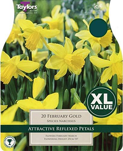 Taylors 20 February Gold Narcissus Daffodil Bulbs XL Value