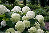 New Life Nursery & Garden Incrediball Smooth Hardy Hydrangea, 3 Inch Pot