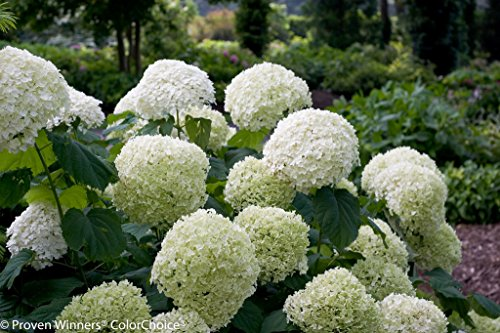 Proven Winners Incrediball Smooth Hardy Hydrangea, 3 inch Pot by Proven Winners