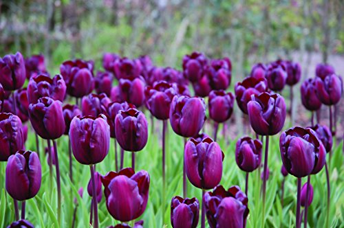 Burpee's Continental Tulip - 10 Flower Bulbs | Burgundy | 12 - 14cm Bulb Diameter by Burpee