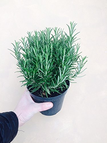 2 Large Rosemary/Rosmarinus Herb Plants in 1.5 Litre Pots Carbeth Plants