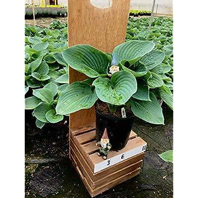 Hosta Sieboldiana Elegance in 1 Gallon pot (Blue Hosta): Garden & Outdoor