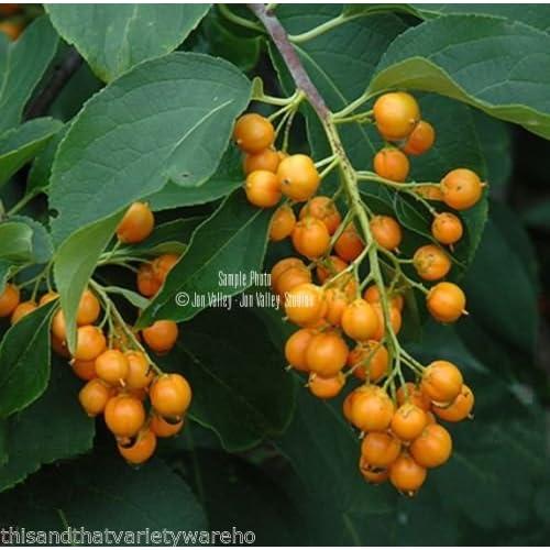 Celastrus Scandens American Bittersweet Colorful Ornamental Climbing Vine Seeds