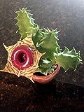 """Huernia Zebrina Life Saver Plant, 2.5"""" Pot"""