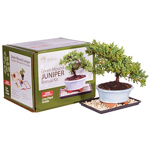 - Brussel's Live Green Mound Juniper Outdoor Bonsai Tree Kit - 3 Years Old; 6