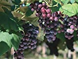 Muench Wine Grape Vine - Plantable