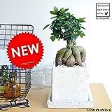 LAND PLANTS 【観葉植物】 がじゅまる ホワイト (貫入カラーポット陶器鉢)盆栽仕立て