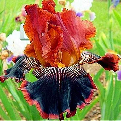 Seed House-KOUYE 50 Pieces Dutch Iris Autumn Princess, Iris Seeds Hardy Irises Mix Purple/White Bonsai Rare Perennial Flower Seeds Home Garden Plants : Garden & Outdoor