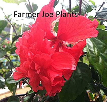 Amazoncom Hibiscus Red Poodle Double Red 1 Plant 3 Pot