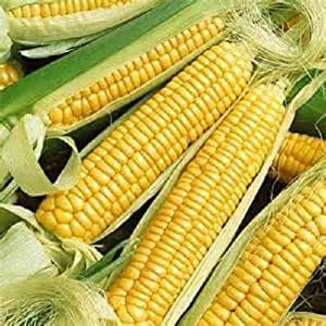 1/4 lb Golden Bantam sweet corn seed new seed for 2017 Non-Gmo,Heirloom