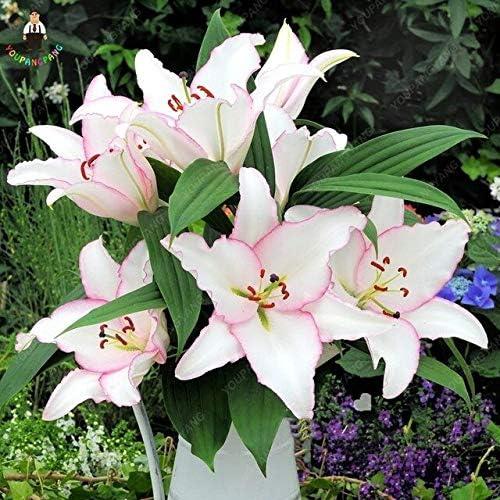 Amazon Com Kasuki 200 Pcs Rare Peruvian Lily Flower Plants Mix