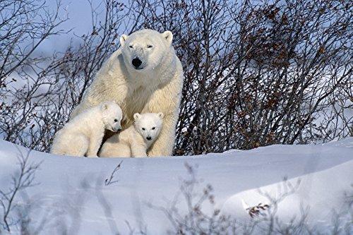 Polar Bear Sow & Cubs Resting In Snow Churchill Canada Poster Print (19 x ()