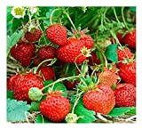 STRAWBERRY - FOUR SEASONS - 200 FINEST SEEDS