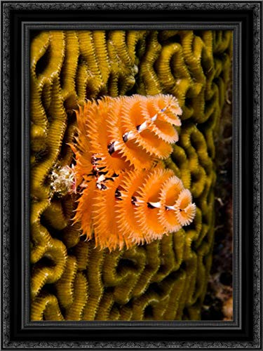 Christmas Tree Worm Filter Feeding While Attached to Brain Coral, Bonaire, Netherlands Antilles, Car 17x24 Black Ornate Wood Framed Canvas Art by Oxford, Pete (Pete Netherlands Black Christmas)