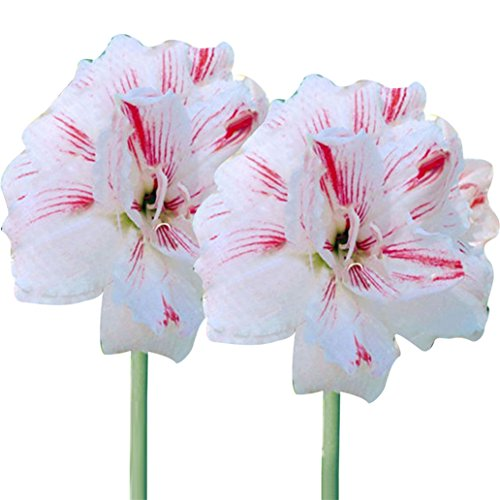 super1798 2 Pcs Amaryllis Bulbs Hippeastrum Seeds Home Garden Decor Flower Plants - Red (Bulbs Amaryllis Bulk)