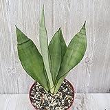 Sansevieria trifasciata moonglow Cactus Cacti Succulent Real Live Plant PD