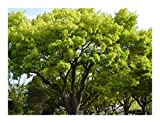 Cinnamomum camphora - Camphor Tree - 20 Seeds