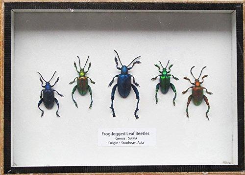 set-5-real-frog-legged-leaf-beetles-sagra-insect-taxidermy-set-in-box-display