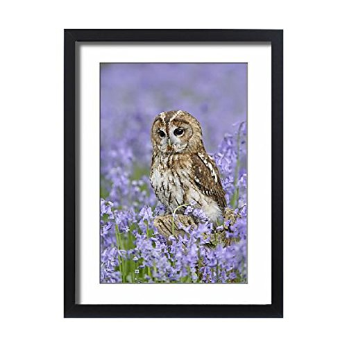 Framed 24x18 Print of Tawny Owl - on tree stump in bluebell wood (1826033)