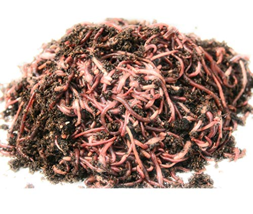 Red wigglers- 500 Count Live composting Worms ()