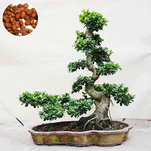 20 Pcs Exotic Bonsai Tree Banyan Tree Seed Office Desk Ficus Ginseng Seed Perennial Ficus Microcarpa The Budding Rate -