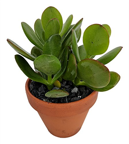 Sunset Jade Plant - Crassula - Easy to Grow House Plant - 3'' Pot by Hirt's Gardens