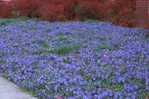 Evergreen 20 Creeping Myrtle Vinca Vines Flowering Plants Ground Cover, ()