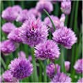 Package of 400 Seeds, Common Chives Herb (Allium schoenoprasum) Non-GMO Seeds By Seed Needs