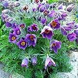 Outsidepride Anemone Pulsatilla Violet - 500 Seeds