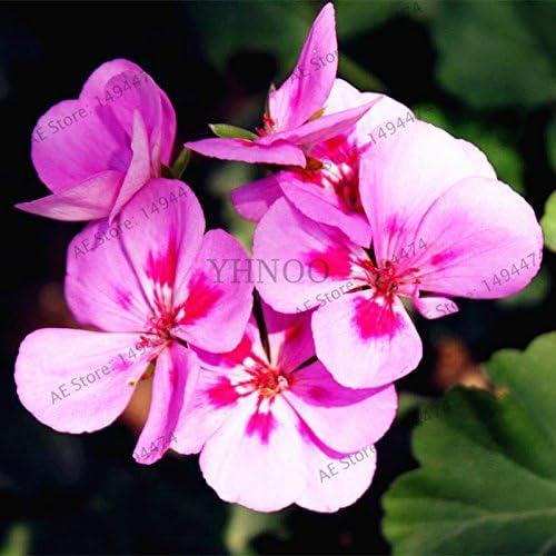50pcs / bag Violeta Semillas plantas del jardín de las semillas de flor violeta, semilla de hierba perenne matthiola Incana para el hogar y el jardín 2: Amazon.es: Jardín