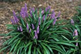 Liriope muscari 'Christmas Tree'