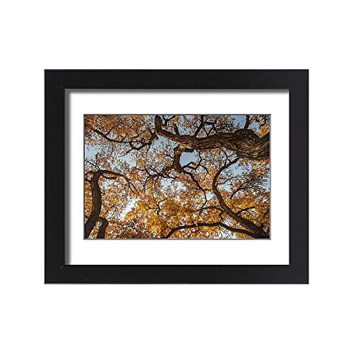 - Media Storehouse Framed 15x11 Print of Cottonwood Trees in Fall Foliage, Rio Grande Nature Park, Albuquerque (19034067)
