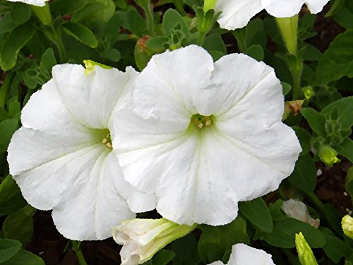 Petunia White Flower Seeds (Pack of 100 Seeds)