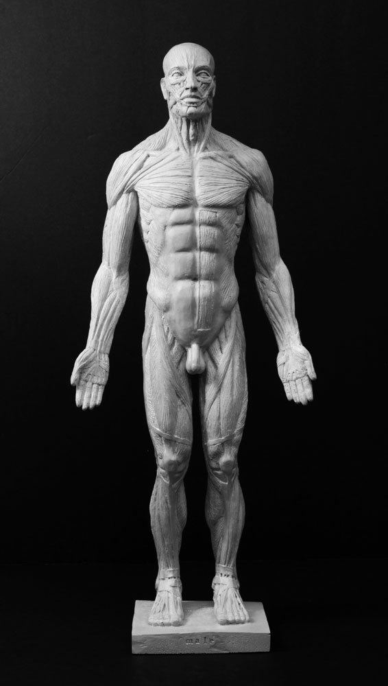 19'' Male Anatomy Figure. Anatomical Reference for Artists. Ecorche' (blue)